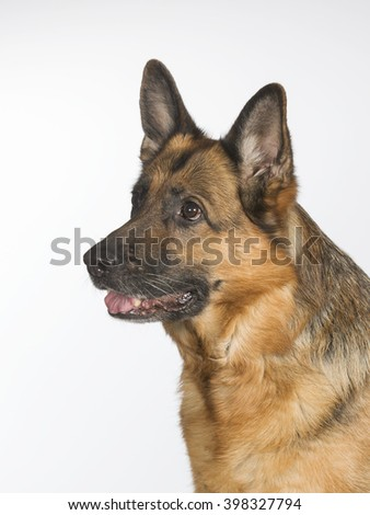German shepherd portrait. Image taken in a studio. - stock photo