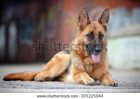 german shepherd portrait lying down - stock photo