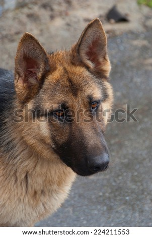 german shepherd portrait. obedient dog used in security and protection