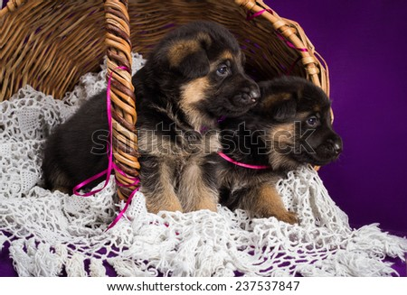 German shepherd puppies sitting in a basket.  Purple background