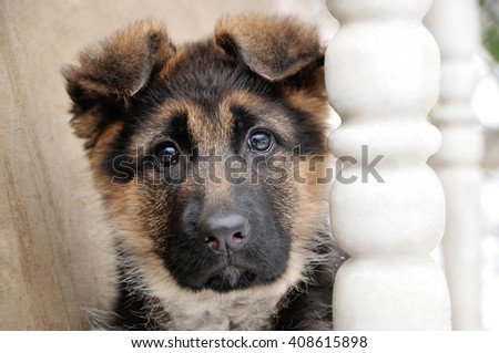 German Shepherd Puppy - stock photo
