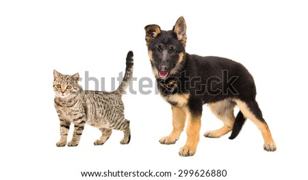 German Shepherd puppy and a cat Scottish Straight standing together isolated on white background - stock photo