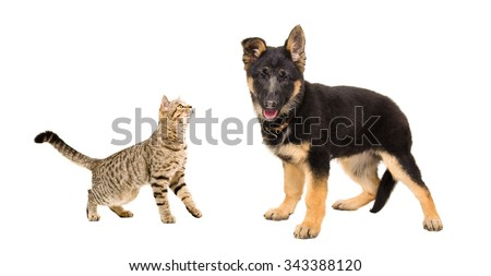 German Shepherd puppy and cat Scottish Straight together isolated on white background - stock photo