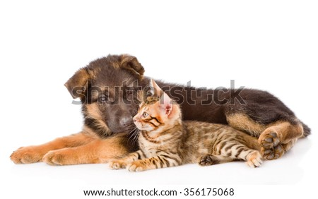 German shepherd puppy dog sniffs bengal cat. isolated on white background - stock photo