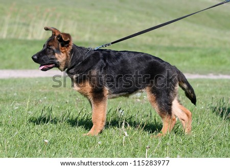 German Shepherd puppy in standing pose