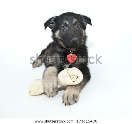 German Shepherd puppy laying on a white background with a rawhide bone. - stock photo