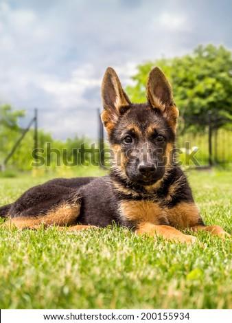 German shepherd puppy lying down in the grass - stock photo