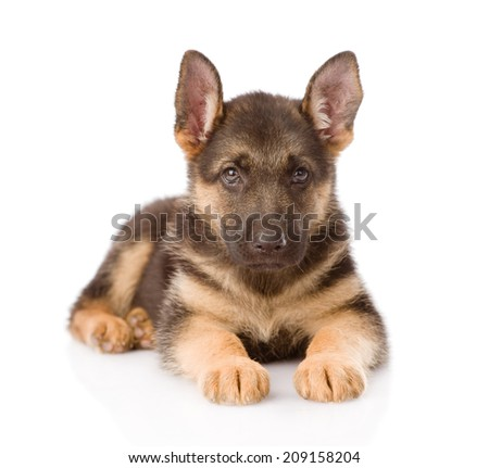 German Shepherd puppy lying in front. isolated on white background - stock photo