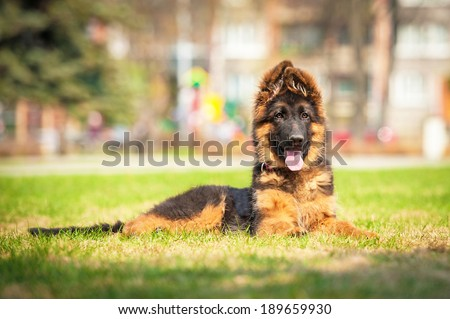 German shepherd puppy lying in the park - stock photo