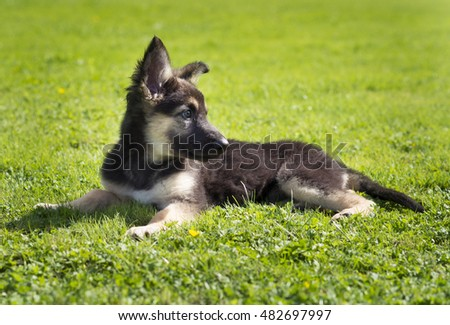 german shepherd puppy lying on grass outdoors
