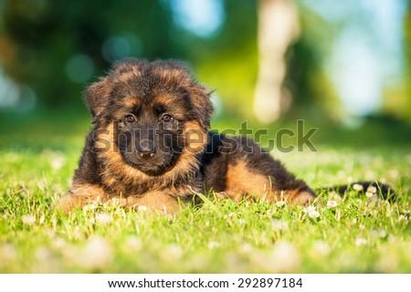German shepherd puppy lying on the lawn - stock photo