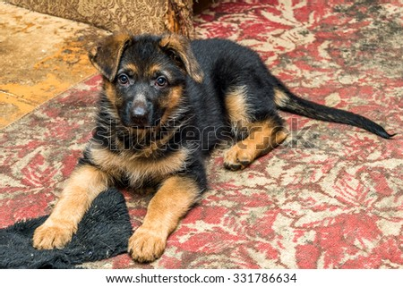 German shepherd puppy on a background - stock photo
