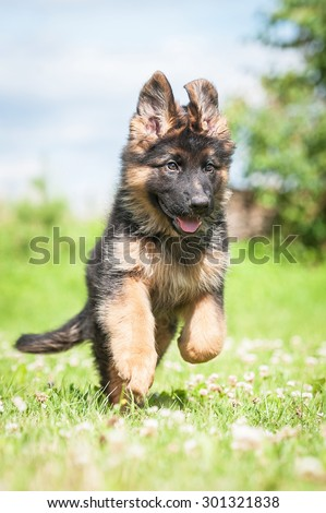 German shepherd puppy playing outdoors - stock photo