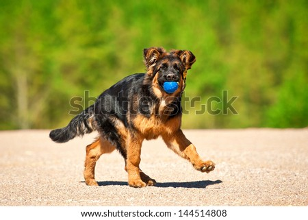 German shepherd puppy playing with ball - stock photo