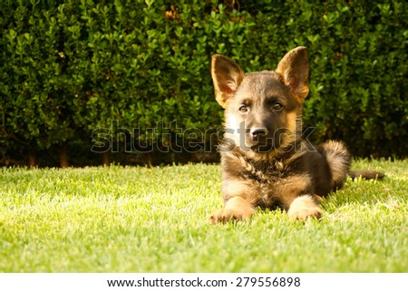 German shepherd puppy relaxing on a warm summer day - stock photo