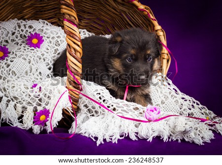 German shepherd puppy sitting in a basket. White lace veil. Purple background