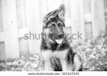 German Shepherd Puppy - This is a black and white image of an adorable german shepherd puppy with floppy ears. Shot with a shallow depth of field. - stock photo