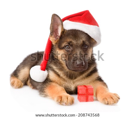German Shepherd puppy with red hat and gift box. isolated on white background