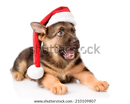 German Shepherd puppy with red hat looking up. isolated on white background