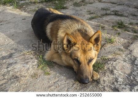 German Shepherd relaxed resting on the floor - stock photo