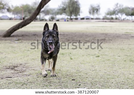 German Shepherd running toward the camera