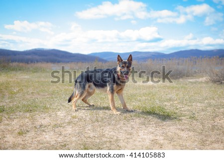 German Shepherd. Sheepdog. Pet. Training.