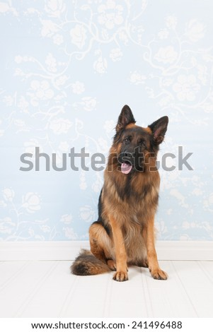 German Shepherd sitting in interior - stock photo