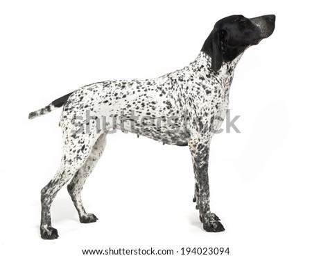 German shepherd standard in white studio - stock photo