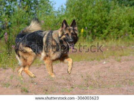 German shepherd stepping in sunshine