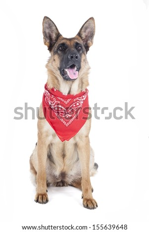 German shepherd with a bandanna in the studio - stock photo