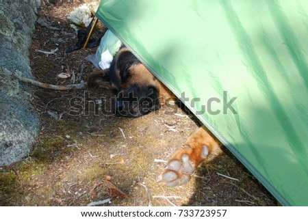 German Sheppard nose sticking out of the green tent