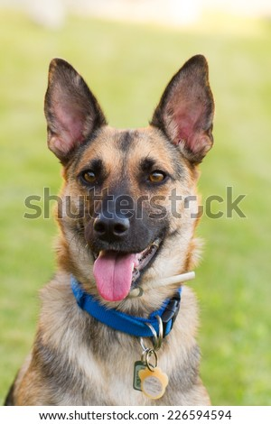 German Sheppard playing outside in the grass portrait showing tongue