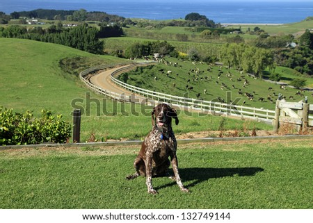 German short haired pointer dog on dairy farm, New Zealand - stock photo