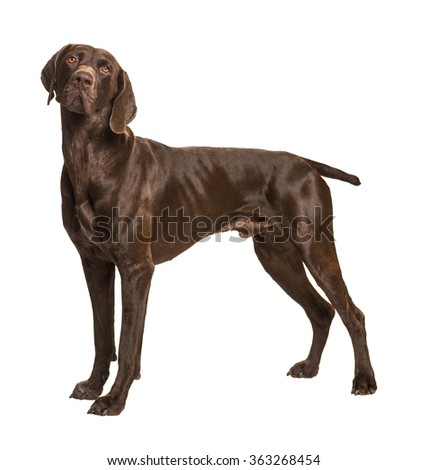 German Short-Haired Pointer on white