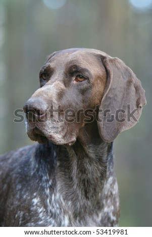German Shorthair Pointer - stock photo