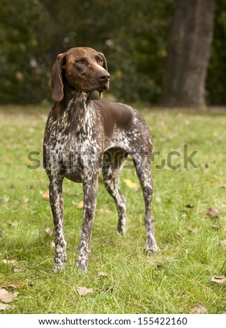 German Shorthaired Pointer - stock photo