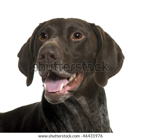 German Shorthaired Pointer dog, 5 years old, in front of white background
