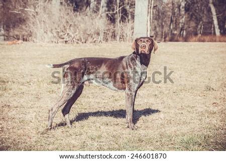 German shorthaired pointer - Gun dog - stock photo