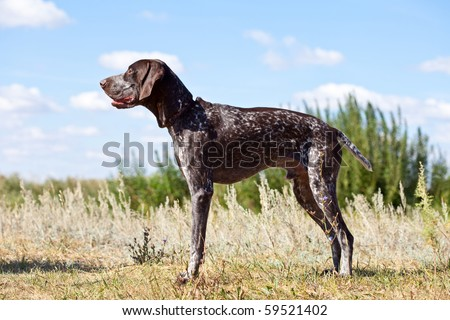 German shorthaired pointer posing in the field - stock photo