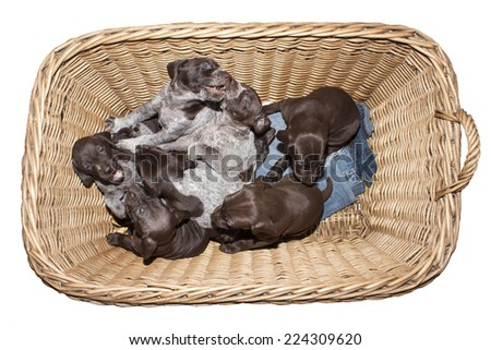 German shorthaired pointer puppy, three weeks old, in a wicker basket, isolated on white - stock photo