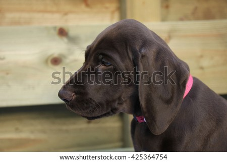 German shorthaired pointer puppy, 8 weeks old