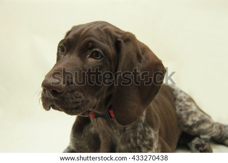 German shorthaired pointer puppy, 10 weeks old