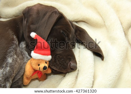 German shorthaired pointer puppy, 10 weeks old. Sleeping with a Christmas bear