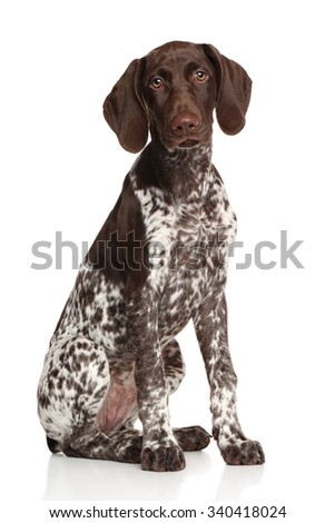 German shorthaired pointer sitting against white background - stock photo