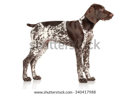 German Shorthaired Pointer standing on white background - stock photo