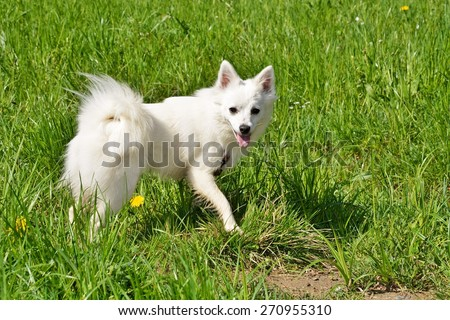 German spitz, American Eskimo dog
