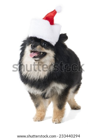 German Spitz in the bell on a white background