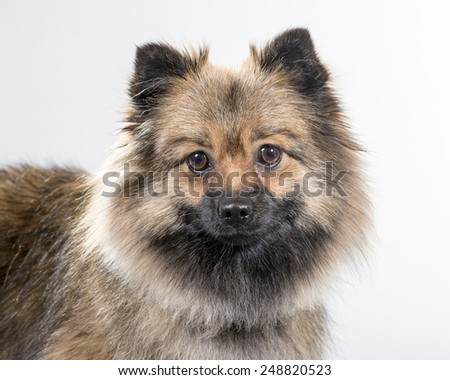 German spitz portrait. Image taken in a studio.