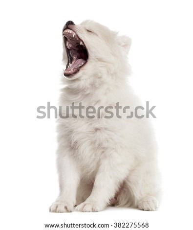 German Spitz puppy sitting and yawning, isolated on white (2 months old) - stock photo