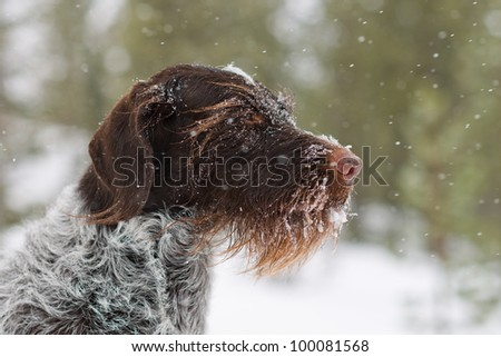 German wire-haired pointer looking in the snow. - stock photo